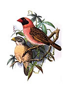 Red beaked weaver bird